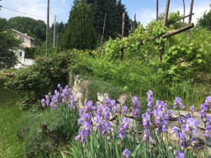 Iris and grapes