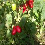 Tomater modnes