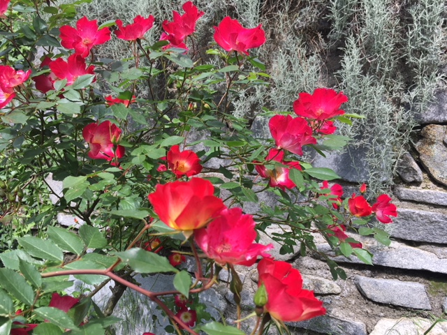 røde roser v grå mur